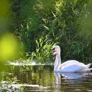 Swans At Keyneston Mill